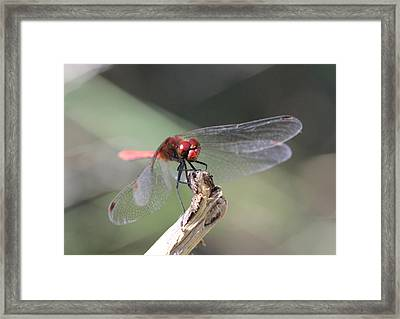 Framed Print featuring the photograph Ruddy Darter Dragonfly - Sympetrum Sanguineum by Jivko Nakev