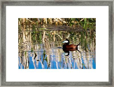 Ruddy Duck Drake Framed Print