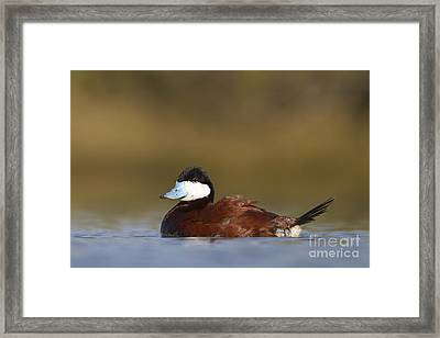 Framed Print featuring the photograph Ruddy Duck  by Bryan Keil