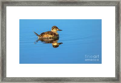 Ruddy Duck Framed Print by Robert Bales