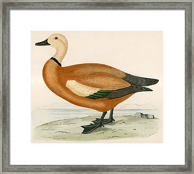 Ruddy Sheldrake Framed Print by Beverley R Morris