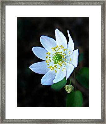 Framed Print featuring the photograph Rue Anemone by William Tanneberger