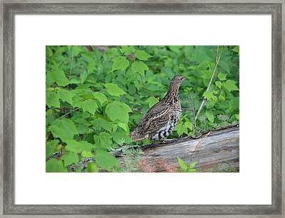Ruffed Grouse Framed Print by James Petersen
