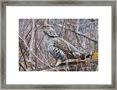 Ruffed Grouse Male Framed Print by Chris Heitstuman
