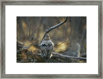 Ruffed Grouse Male Drumming Framed Print by Michael Quinton