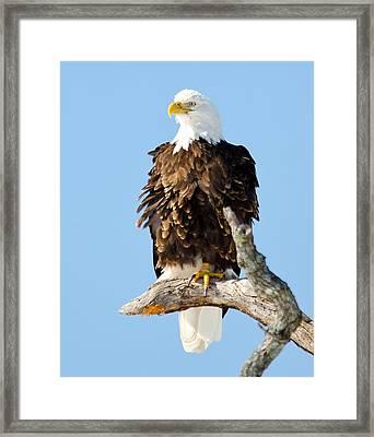 Ruffled Eagle Framed Print