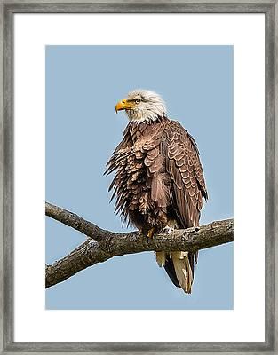 Ruffled Feathers Bald Eagle Framed Print