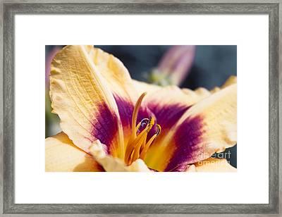 Ruffled Island Daylily Framed Print by Sharon Mau