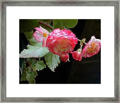 Ruffled Pink Begonia's Framed Print
