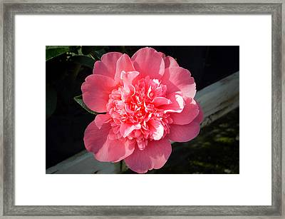 Ruffles In Pink. Framed Print by Terence Davis