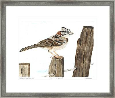 Rufous-collared Sparrow Framed Print by Cindy Hitchcock