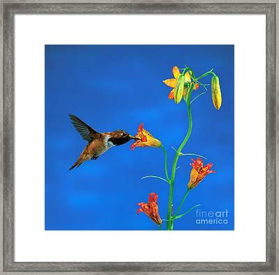 Rufous Hummingbird Framed Print by Anthony Mercieca