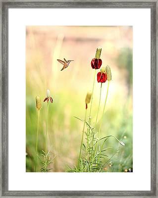 Rufous Hummingbird Mexican Hat Corn Flower Framed Print