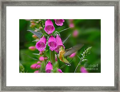 Rufous Hummingbird Framed Print by Thomas and Pat Leeson