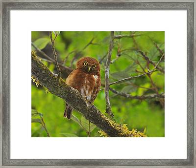 Rufous Morph Costa Rican Pygmy-owl Framed Print by Tony Beck