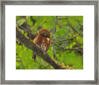 Rufous Morph Costa Rican Pygmy-owl Framed Print