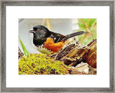 Framed Print featuring the photograph Spotted Towhee by VLee Watson