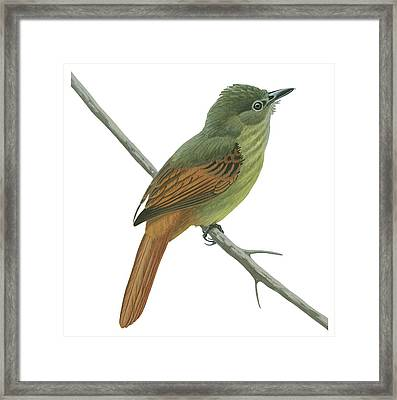 Rufous Tailed Flatbill  Framed Print by Anonymous