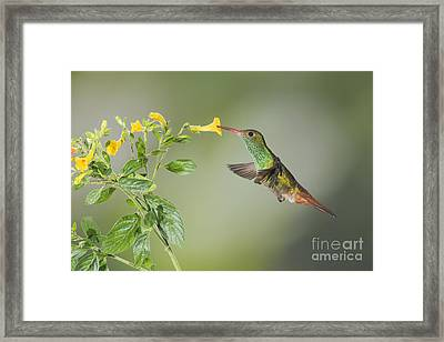 Rufous-tailed Hummingbird Framed Print