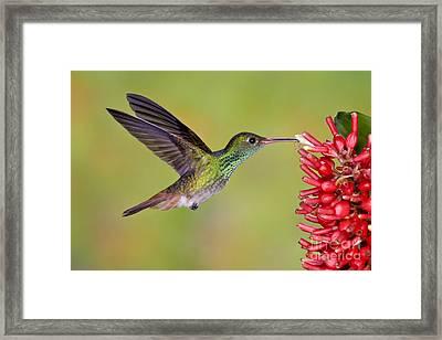 Rufous-tailed Hummingbird Framed Print by Anthony Mercieca