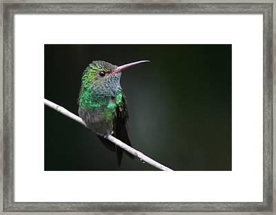 Rufous-tailed Hummingbird Framed Print by Joe Sweeney