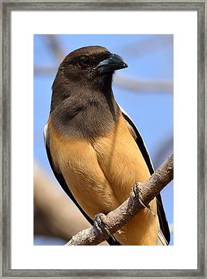 Rufous Treepie. Another Portrait Framed Print by Fotosas Photography