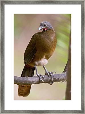 Rufous-vented Chachalaca Framed Print by Bob Gibbons