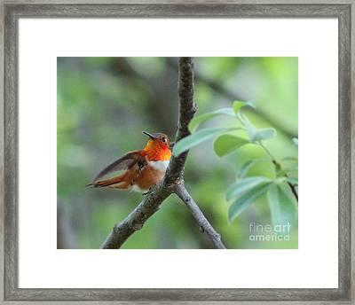 Rufus Hummingbird Framed Print by Leone Lund