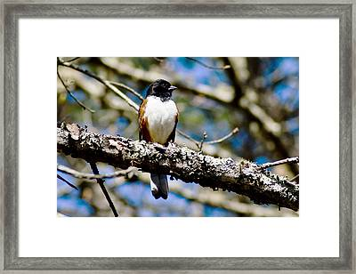 Rufus Sided Towhee Framed Print by Dennis Coates