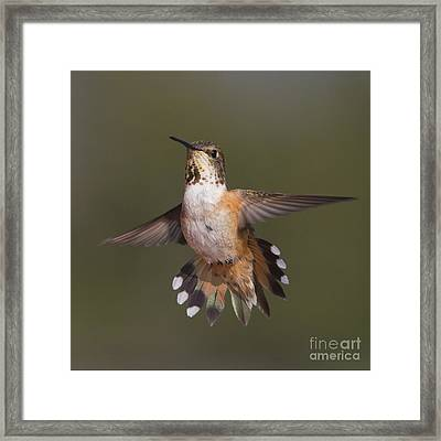 Rufus Tail Flare Framed Print by Tim Grams
