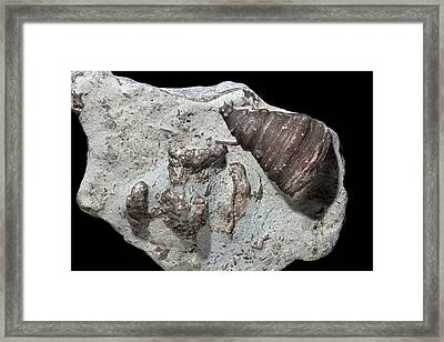 Rugose Coral Fossils I Framed Print by Dirk Wiersma