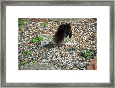 Run For Your Life Black Squirrel Framed Print by Eti Reid