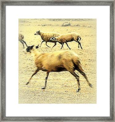 Running Even Faster Than The Other Sheep  Framed Print