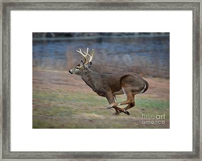 Running Buck Framed Print