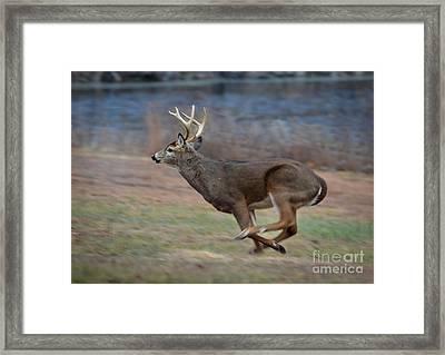 Running Buck Framed Print by Amy Porter