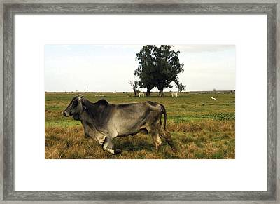 Running Cow Framed Print by Kyra Belan
