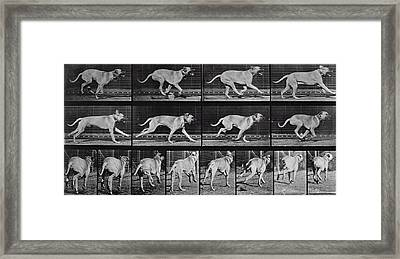 Running Dog Framed Print by Eadweard Muybridge