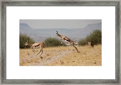 Running Springboks In Mid-jump Framed Print