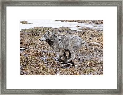 Framed Print featuring the photograph Running Timber Wolf by Wolves Only