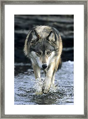 Running Wolf Framed Print by Chris Scroggins