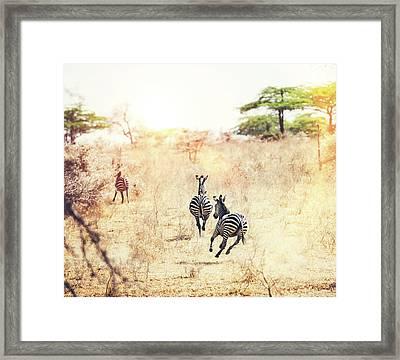 Running Zebras Framed Print by Borchee