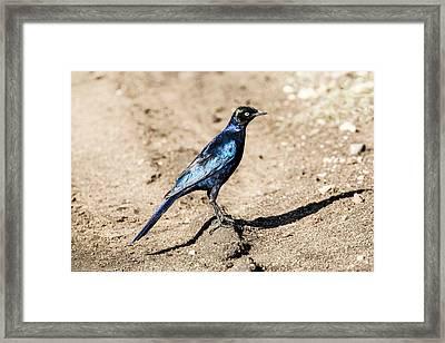 Ruppell's Glossy-starling Framed Print