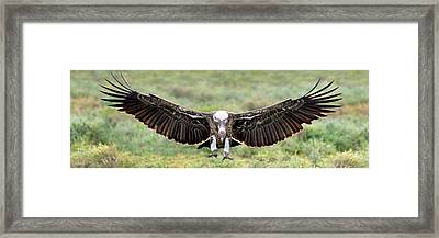 Ruppells Griffon Vulture Gyps Framed Print by Panoramic Images