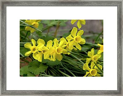 Rush-leaf Jonquil (narcissus Assoanus) Framed Print by Bob Gibbons