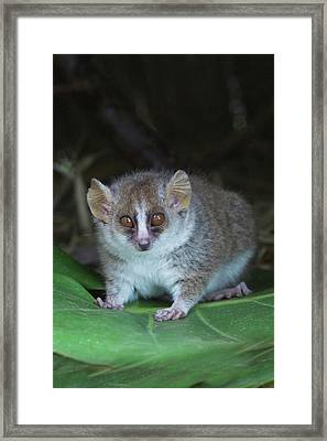 Russet Mouse Lemur (microcebus Rufus Framed Print by Keren Su