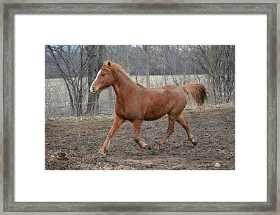 Russian Arabian Framed Print by Jennifer  King