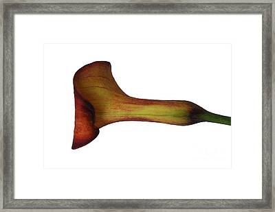 Rust Calla Lily Laying Down Framed Print by Heather Kirk