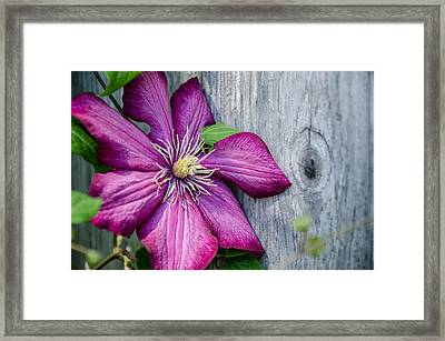 Framed Print featuring the photograph Rustic Clematis by Susan  McMenamin