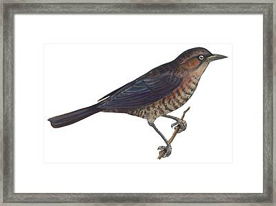Rusty Blackbird  Framed Print by Anonymous