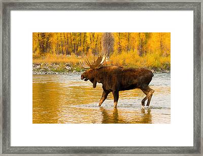 Framed Print featuring the photograph Rutting Bull by Aaron Whittemore